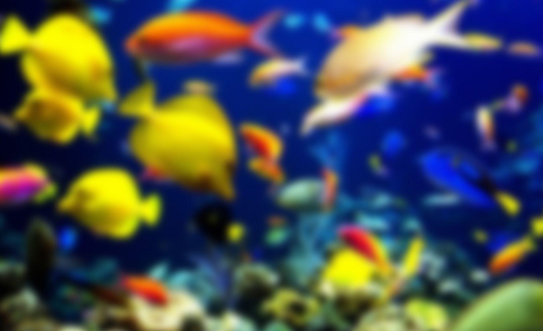 Dwarsbandsnoekje / Epiplatys dageti | Tropische vissen