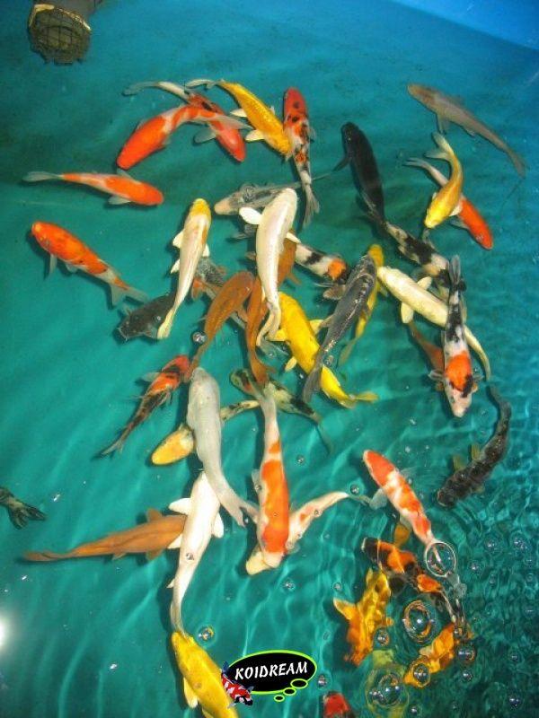 9 koi b 45 50 cm 5 st tropische vissen for Koi 9 en israel