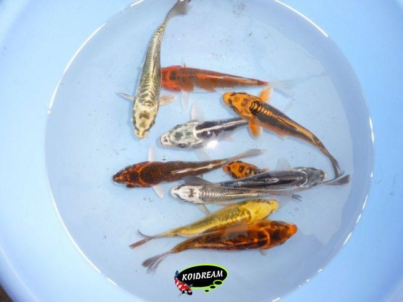 9 koi metalic 45 50 cm 5 st tropische vissen for Koi 9 en israel