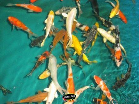 Koi standaard vroeger koi b tropische vissen for Koi 9 en israel