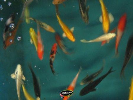 Koi b van dagnoy tropische vissen discusvissen japanse for Koi 9 en israel